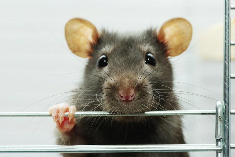 cute-rat-111024