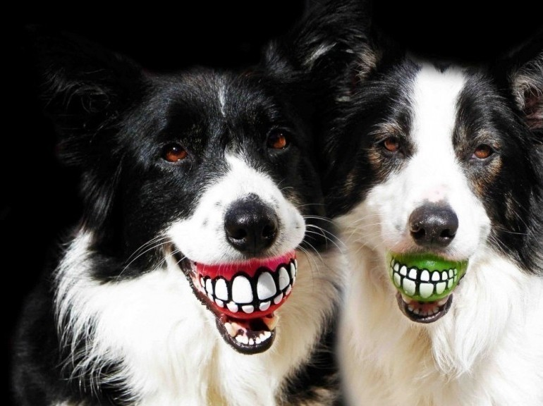 Sourires de chiens border collie avec baballes