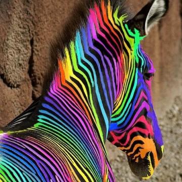 Zébre multicolore